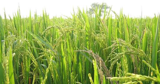 سیلیس چیست؟ اهمیت سیلیس در کشاورزی5