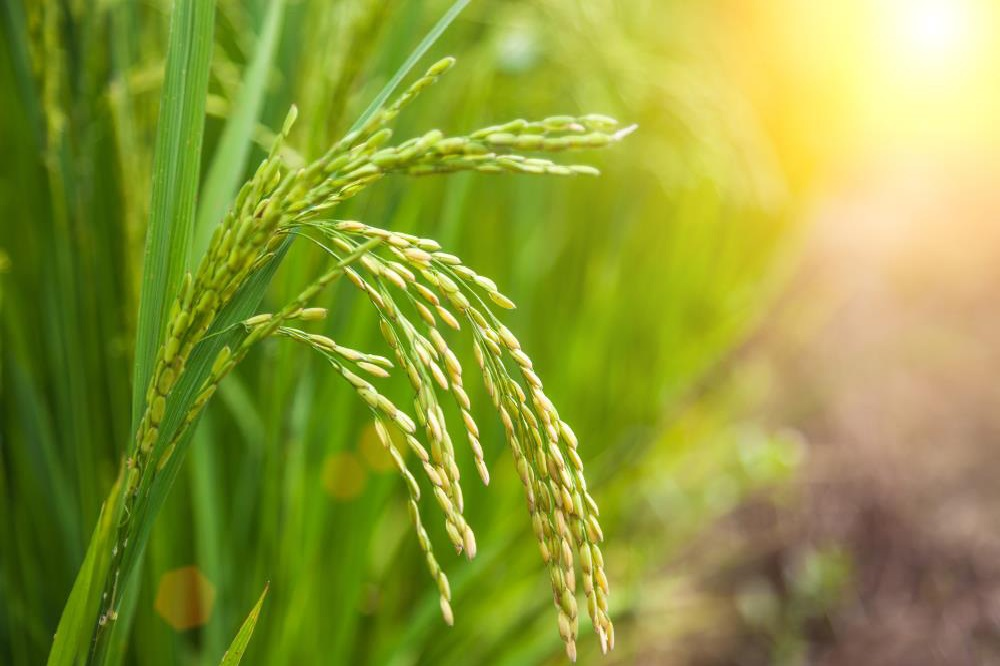 سیلیس چیست؟ اهمیت سیلیس در کشاورزی