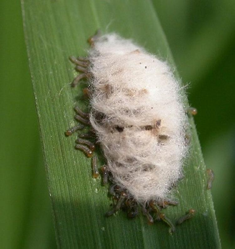 تخم آفت ساقه خوار برنج