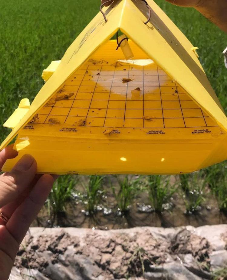 تله فرمونی برای شکار پروانه ساقه خوار برنج