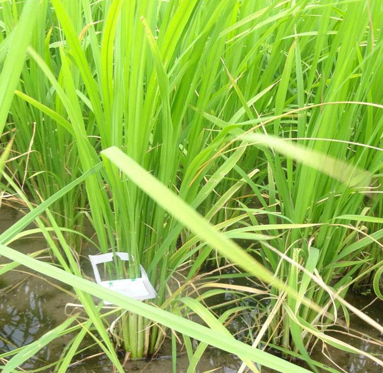 نصب تریکوکارت جهت مبارزه با آفت ساقه خوار برنج