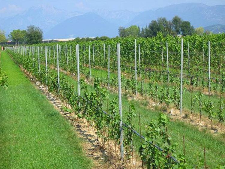 شرایط آب و هوایی برای احداث باغ انگور